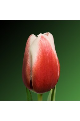 Тюльпан красно-белый