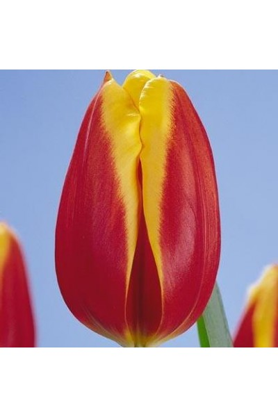 Тюльпан красно-желтый в Томске