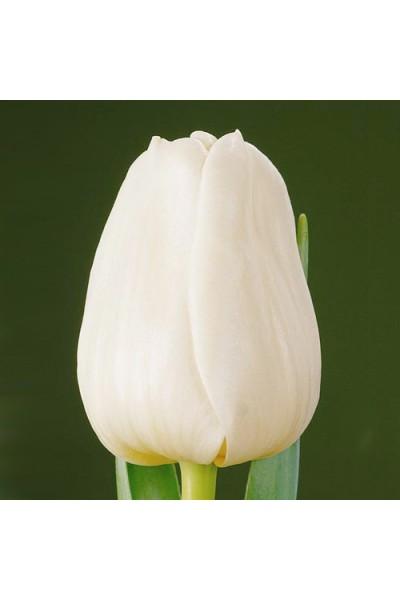 Тюльпан белый в Томске